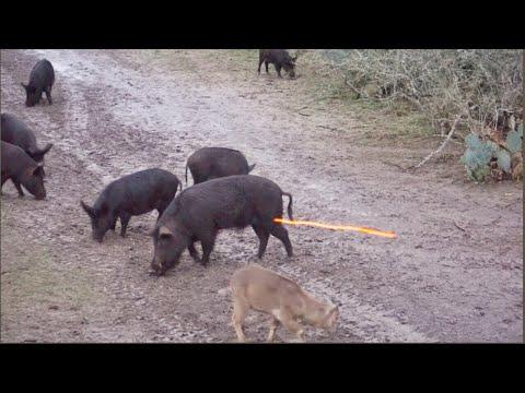 BIG BOAR Takes Arrow Like A Champ!!
