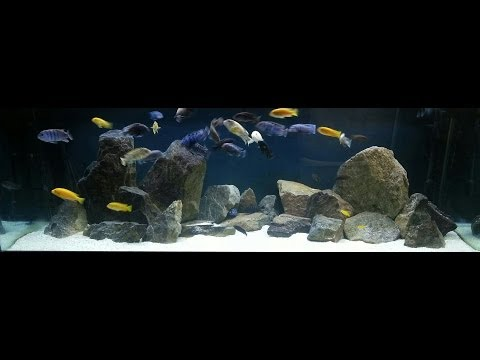 cichlid - SUBSCRIBE - http://goo.gl/1OeGu Website - http://africancichlidhub.com/ Facebook - https://www.facebook.com/bolly12345 Twitter - https://twitter.com/bolly_1...