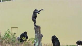 Video シャバーニ家族 176 Shabani family gorilla MP3, 3GP, MP4, WEBM, AVI, FLV Desember 2018