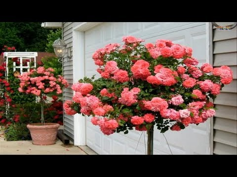 Beautiful Rose Garden - The Most Beautiful Roses in the world