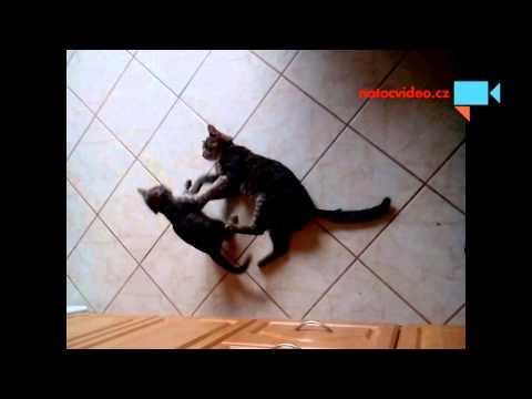 Kočičí války