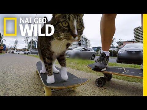 Skateboarding Cat Does Tricks | Kitten Impossible