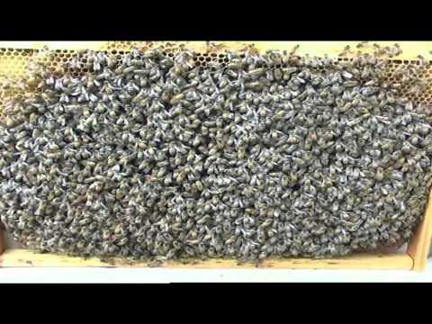 la meravigliosa vita delle api!