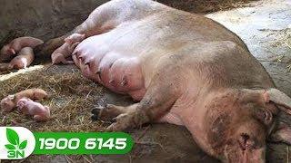 Chăn nuôi lợn | Lợn nái mắc phó thương hàn, cách điều trị hiệu quả