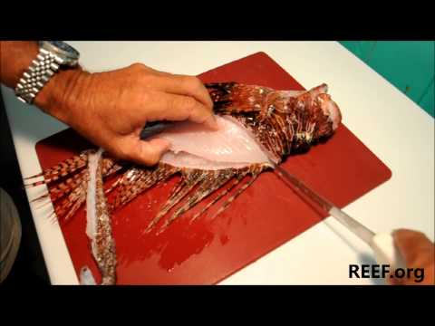 How to Fillet a Lionfish