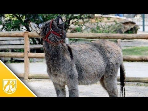 Krefeld: Dieser Esel im Zoo Krefeld ist ein echter Draufgänger