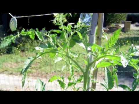 Comment s'occuper de ses plants de tomates!