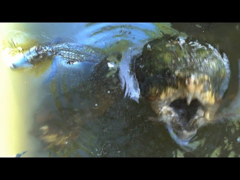 The Alligator Snapping Turtle (Macrochelys temminckii)