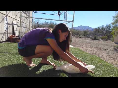 Girl Teaches Her Chicken an Exercise