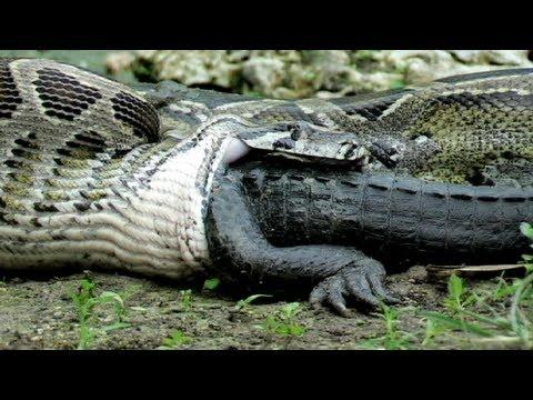 Serpiente Pitón se come un caimán