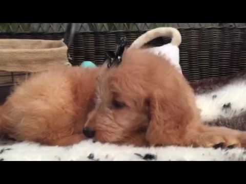 A real teddy bear, Mini Goldendoodle puppy!