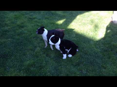 Boston terrier meets stuffed boston terrier 2