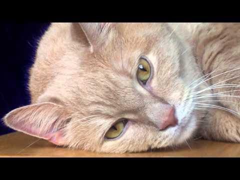 Sonido de Gato - Maullido - Sonidos de Animales para niños
