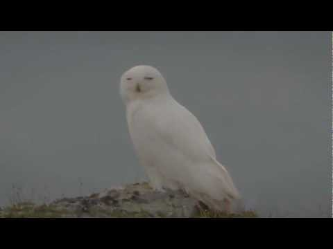 Fjälluggla - Once in a while, often with many years in between, Snowy owls appear in their breeding grounds. If the lemming population is high enough, they may breed, oth...