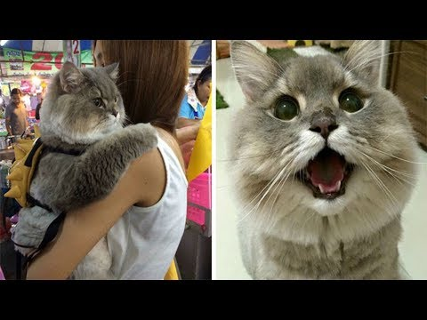 This Huge Cat From Thailand Is So Fluffy That Everyone Wants To Hug Him