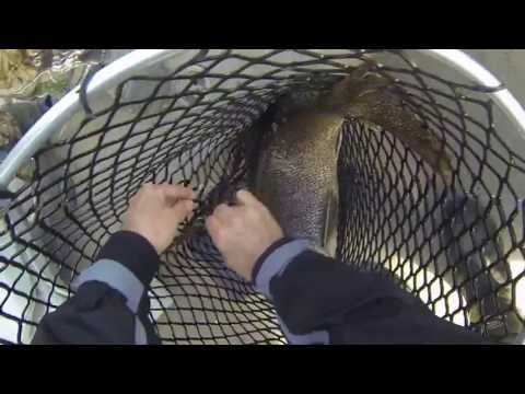 Truite grise de 13 lbs dans le Lac Memphrémagog
