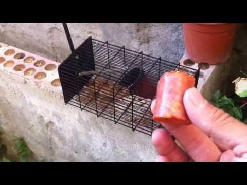 Cebos de ratas videos videos relacionados con cebos de - Cebos para ratones ...
