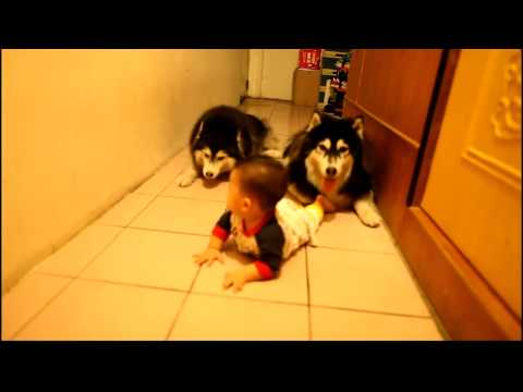 Crawling - Very cute Husky Dogs Crawling race with Baby HD They are Amazing.