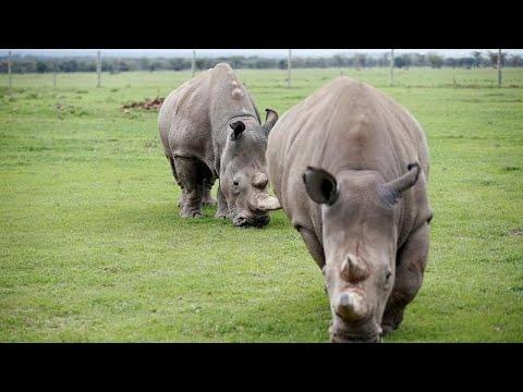 Προσπάθειες αναπαραγωγής του λευκού ρινόκερου για να μην εξαφανιστεί …