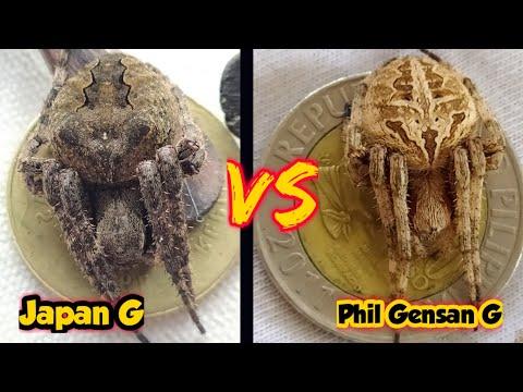 Philippine DERBY Spider VS Japan spider / spider fight.