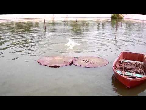 การปลูกบัววิคตอเรียในน้ำลึก