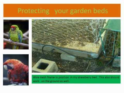 Home Gardening A method to stop birds attacking and destroying home garden food crops