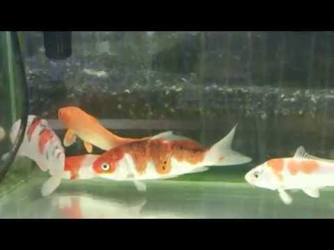 錦鯉の稚魚  その1