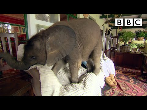 VIDEO: Rescued Baby Elephant Follows Good Samaritan Around