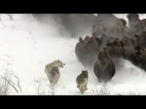 Best Wild Animal Chases | Top 5 | BBC Earth