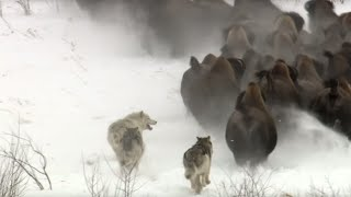 Video Best Wild Animal Chases | Top 5 | BBC Earth MP3, 3GP, MP4, WEBM, AVI, FLV Juli 2019