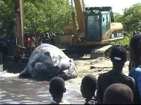 Une jeune baleine à bosses s'est échouée dans la baie de Caracol dans le Nord-Est