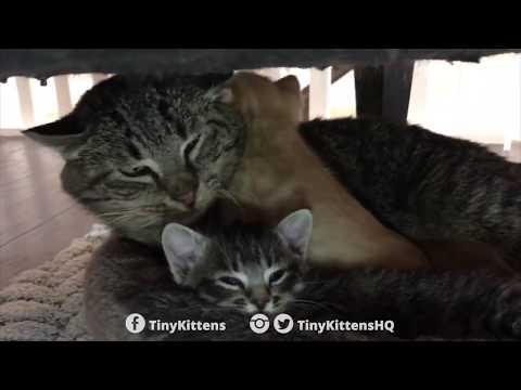 anziano-gatto-selvatico-incontra-dei-gattini-orfani-e-riscopre-la-tenerezza