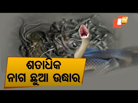 Video Over 100 Snake Hatchlings Found Inside House In Bhadrak download in MP3, 3GP, MP4, WEBM, AVI, FLV January 2017