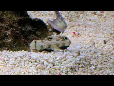 Two Spot Goby HD