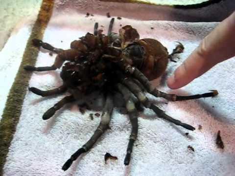 蜘蛛的蛻皮手術!我不敢看....!!!