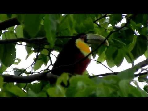 Tucano em Salvador do Sul RS em HD