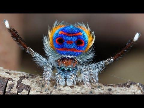 la splendida danza d'amore del ragno pavone