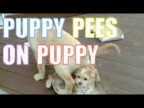PUPPY PEES ON PUPPY