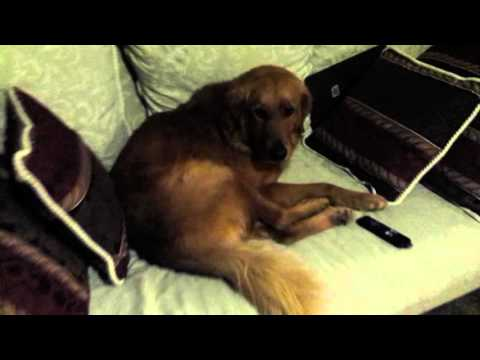 Golden Retriever Refuses To Get Off Couch