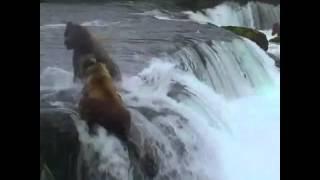 Ayıların Balık Kavgası Diğer en popüler videolarımız için http://www.enpopulervideo.besaba.com dan takip edebilirsiniz.
