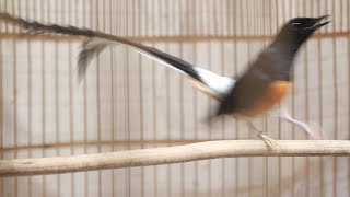 Video ลีลา นกบินหลาดง White-rumped shama Display MP3, 3GP, MP4, WEBM, AVI, FLV Februari 2019