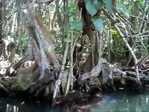 Indian River - Dominica
