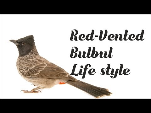 Video Complete growth of Red-vented bulbul in their nest in my house download in MP3, 3GP, MP4, WEBM, AVI, FLV January 2017