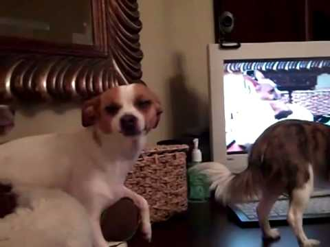 Chihuahua's  watching their Youtube video.