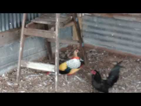 Lady amherst's breeding with miniature hen