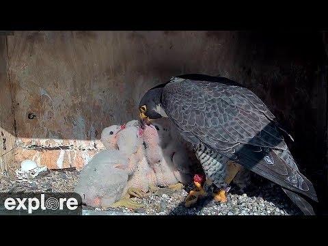 Vögel - Wanderfalken / Peregrine Falcon  - Nest (M ...