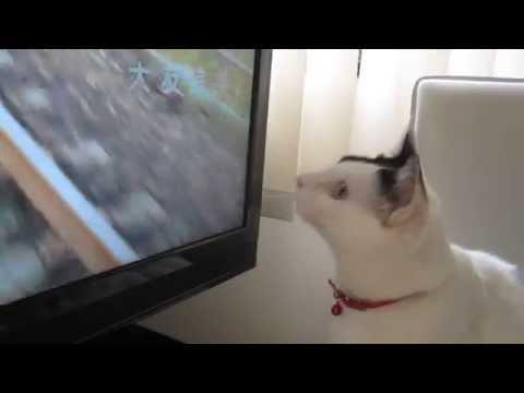 El gato que intenta atrapar pájaros de la tele