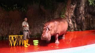 Video Ancol Gelanggang Samudera - Aneka Satwa - Hippo Show - kuda nil (full show) MP3, 3GP, MP4, WEBM, AVI, FLV April 2019