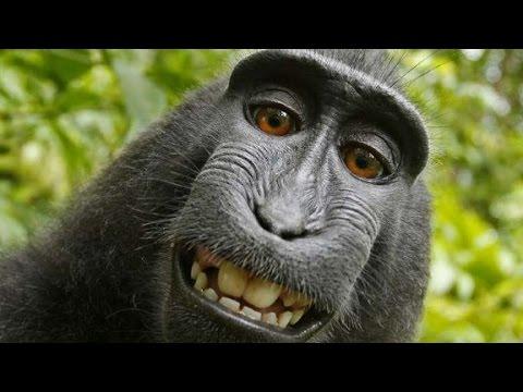 Monkey selfie stirs up monkey business
