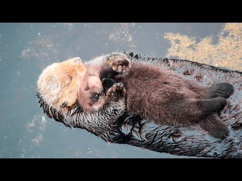 ADORABLE! One Day Old Sea Otter Sleeps on Mom's Belly